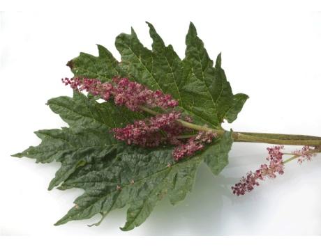 نبات الراوند و فوائده العظيمه للجهاز الهضمي و القولون و امراضه وتقوية جهاز المناعة