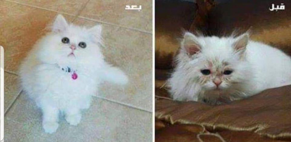 علاج مرض الفطريات عند القطط و الانسان فطريات القطط بشكل مفصل