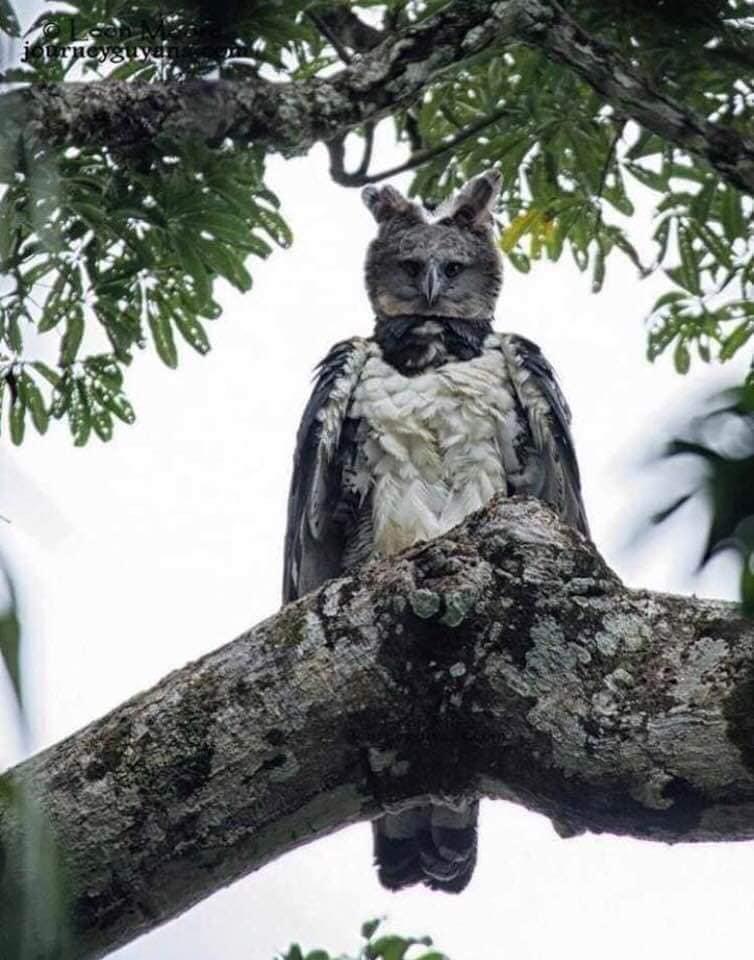 النسر هاربي أقدم فصيلة للنسور على وجه الأرض نادر الوجود ويعتبر أخطر طائر بسبب حجمه